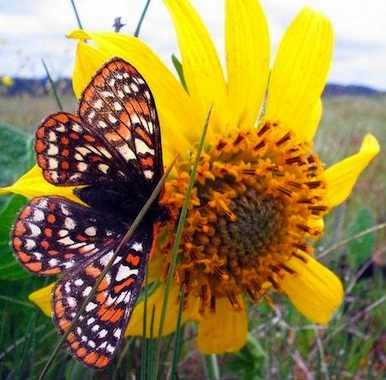 Taylors checkerspot butterfly - USFW photo Aaron Barna