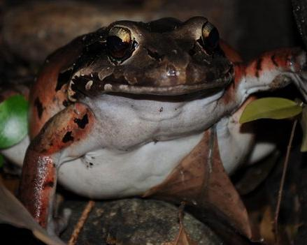 frogs known as chicken frogs surviving re-entry in the wild