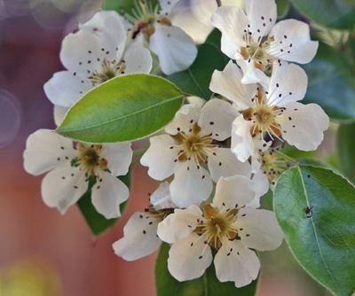 pear blossoms - photo by Elf, GNU license