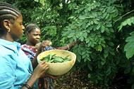 harvesting leaves