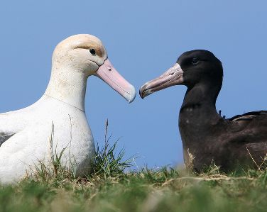 short tailed albatross photo by USFWS