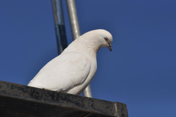 Photo of dove by generalising-CC-flickr