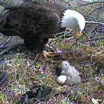 eagle-cam-nest
