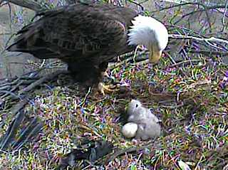 eagle-cam photo from Raptor Resource