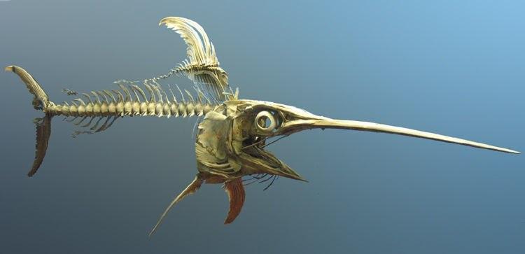 swordfish skeleton-Postdlf