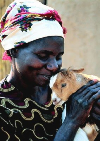 Heifer project in Zambia - Heifer photo