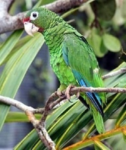 Puerto Rican parrot - USFW photo