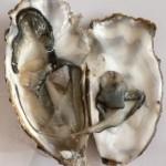 oyster-gnu