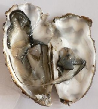 oyster photo, GNU license