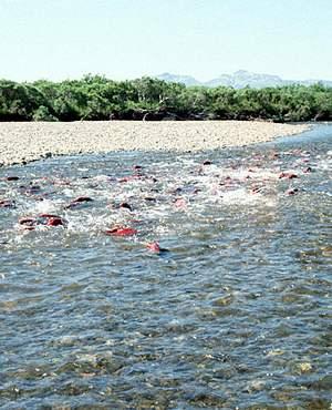 Salmon migrating USFW