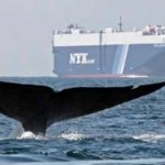 whale in shipping lane - Cascadia Research