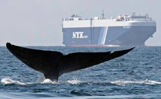 whale in shipping lane-Cascadia Research