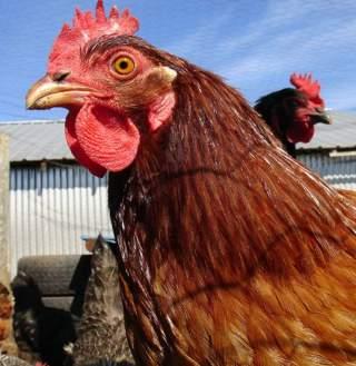 chickens Kakisky Morguefile