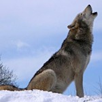 Gray Wolf Wikimedia Commons - photo by Retron