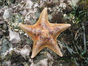 Bat Star (Asterina miniata)