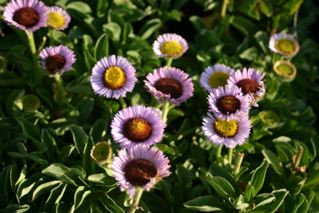 prolific flowers
