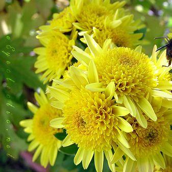 smyellowflowers