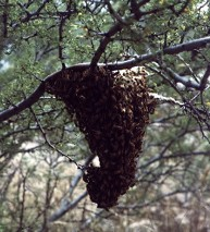 bees swarm in a tree