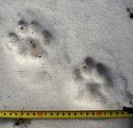 amur tiger cub tracks, photo by wwf