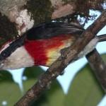 Bird Sira Barbet