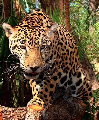 Jaguar Bjørn Christian Tørrissen