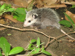 baby_possum