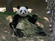pandaeating.jpg
