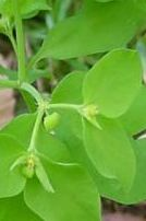 petty spurge clears most common type of skin cancer