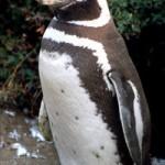 magellanic-penguin.jpg