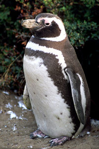 magellanic-penguin