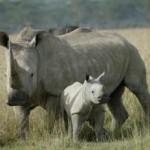 white rhino photo by Enaud Fulconis - IRF.org
