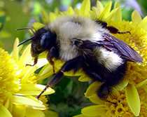 honey bee photo by John Stone, eyeclectic.net