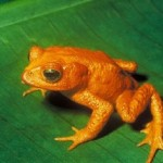 golden-toad.jpg