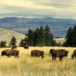 bisons-roam