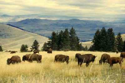 bison roaming in Colorado