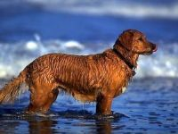 retriever in the waves