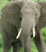 elephants on the population upswing