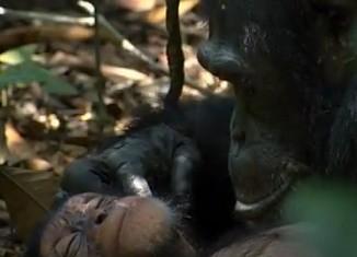 Chimp orphan Disney Nature film