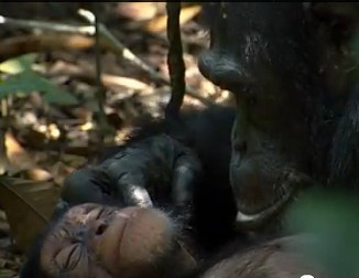 Chimp orphan Disney Nature film