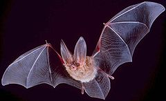 big-eared-bat.jpg