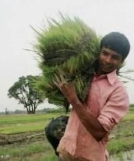 Farming Rice India - USAID Photo