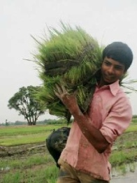 Farming Rice India - USAID Photo