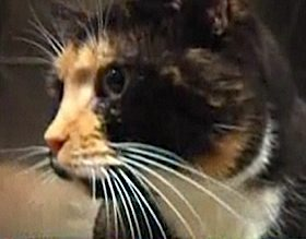 cat-calico-NBCvid