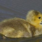 duckling-swims.jpg