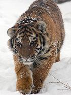 amur-tger-cub.jpg