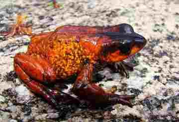 harlequin-frog.jpg