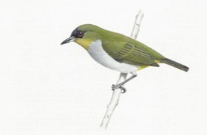 white-eye-bird.jpg