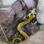 cgy-salamander.jpg