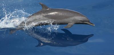 dolphin-noaa.jpg