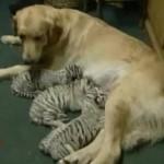dog-nurses-tiger.jpg